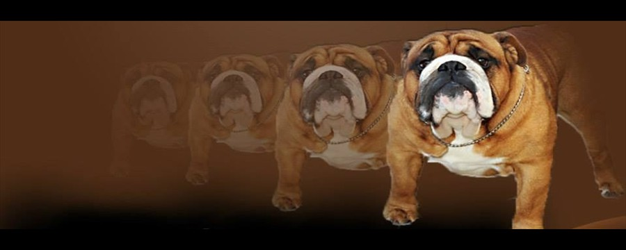 english_bulldog_stud_dog_jack